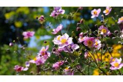 Fall-Blooming Anemones to Plant Now