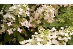 Midwest: 5 Shrubs That Look Great in August (Zone: 3-7)