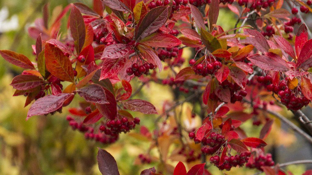 Fall's Fruiting Shrubs