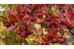 Fall's Fruiting Shrubs