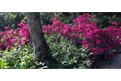 Better Ways to Use Azaleas