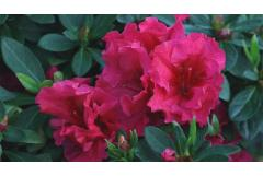 In Bloom: Azaleas