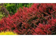 How to Use Barberry in the Landscape