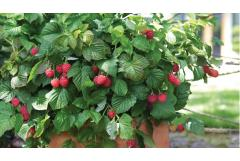 Putting Container-Planted Berries to Bed