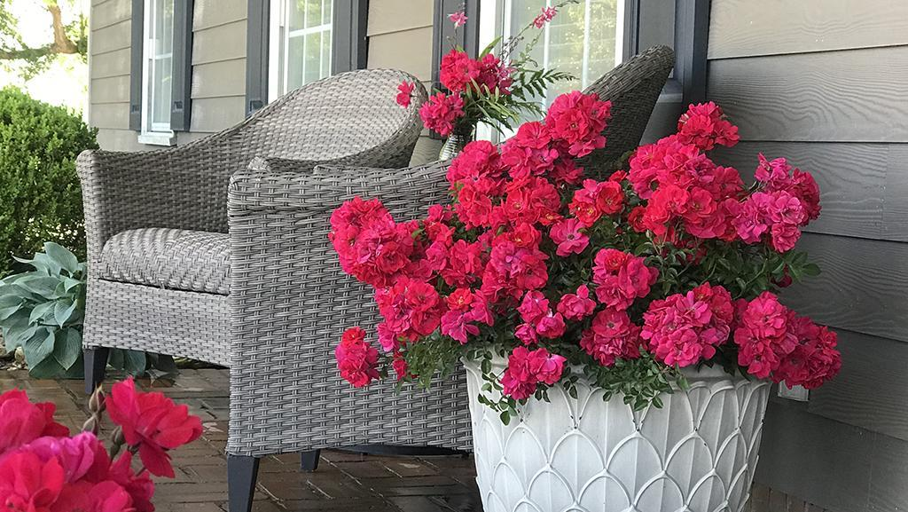 pink roses in white container with gray chairs