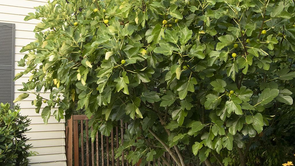 fig tree growing next to house