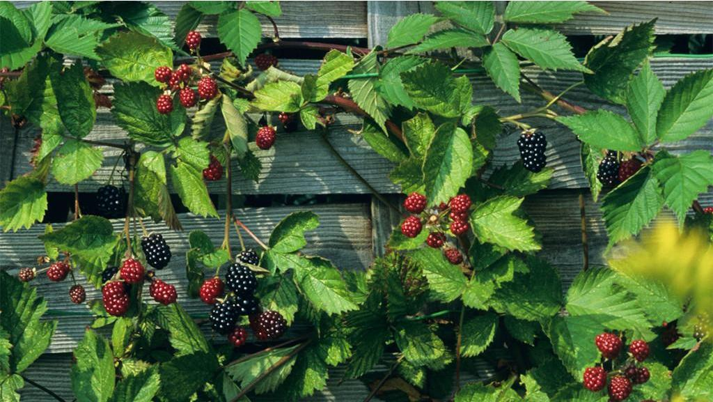 Berries are more than delicious: here's how to use them to make a beautiful garden