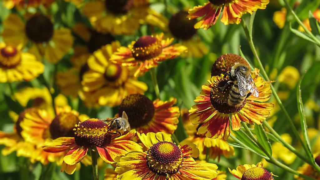 Pollinators are buzzing over these late-summer, nectar-rich plants