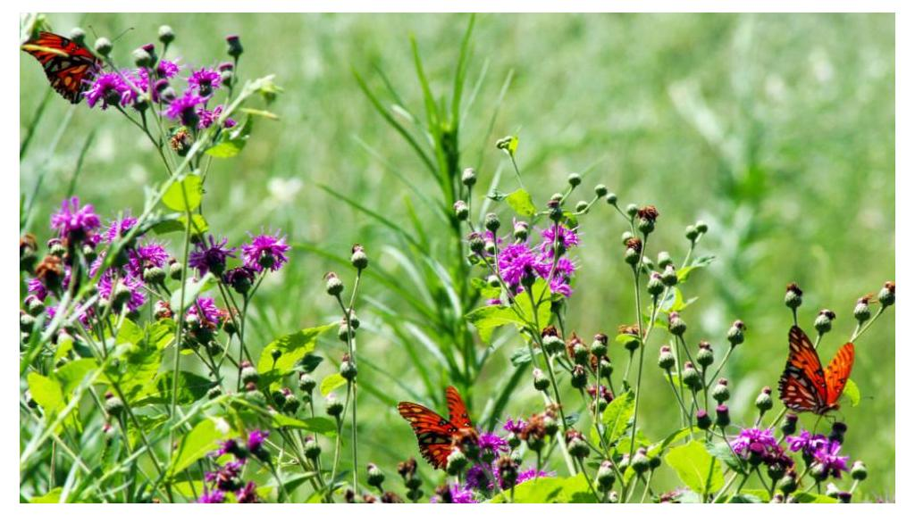 What to Plant to Attract Butterflies, Hummingbirds and Other Pollinators