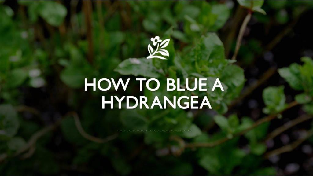 How to Blue Hydrangeas