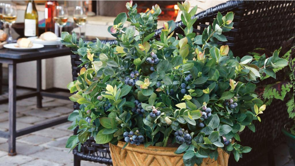 "How to Grow Blueberries in Pots (the secret is four ""Ps"")"