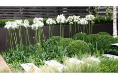 Better Ways to Use Agapanthus