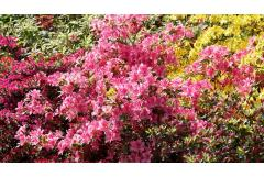 Add Azaleas for Spring Color