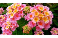 Heat-Loving Lantana Brings on the Blooms (and butterflies, too)