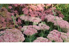 It's Sedum Season!