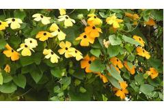 15 Summer Flowering Vines and Climbers