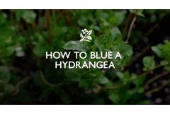 How to Blue Hydrangeas