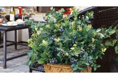 """How to Grow Blueberries in Pots (the secret is four """"Ps"""")"""