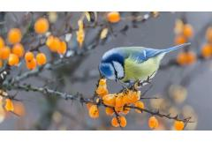 Plant a Berry Garden for Winter Birds