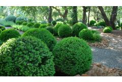 There's a Boxwood For Every Garden