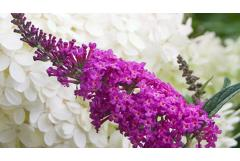 Northeast: 5 Shrubs That Look Great in August (Zone: 3-6)
