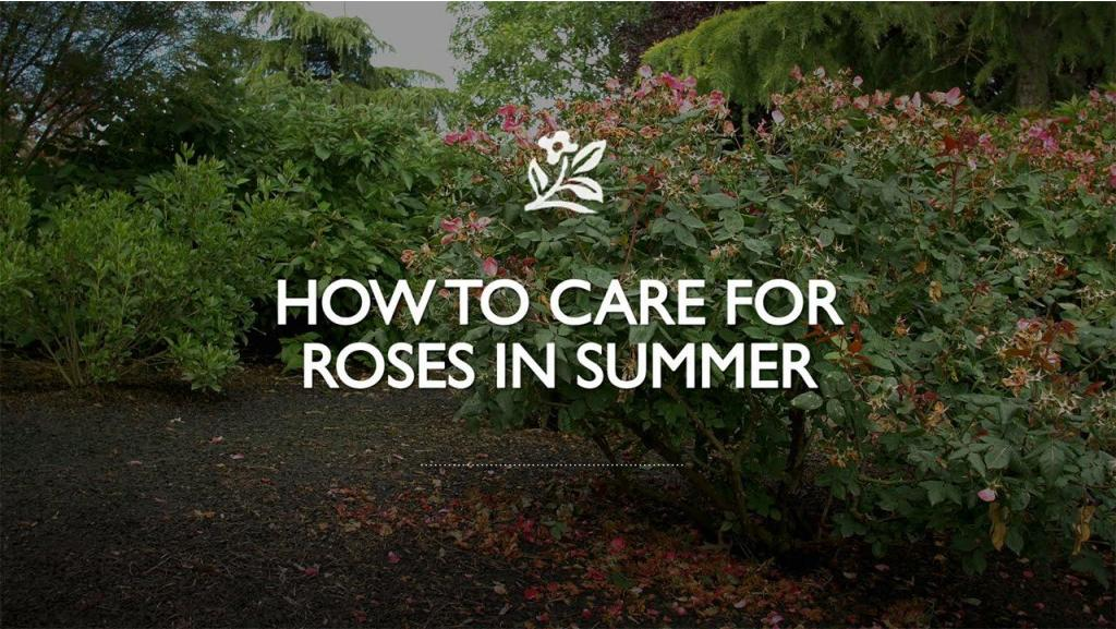 How to Care for Roses in Summer