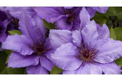 Short and Sweet: 5 Ways to Use Compact Clematis