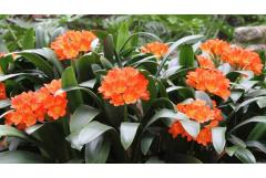 How to Grow Clivia