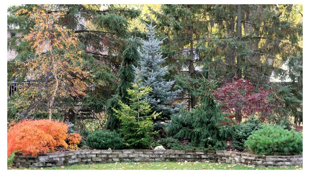 Colorful Cold-Loving Conifers