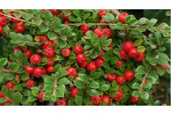 Cotoneasters Bring Winter Color to Colder Zones