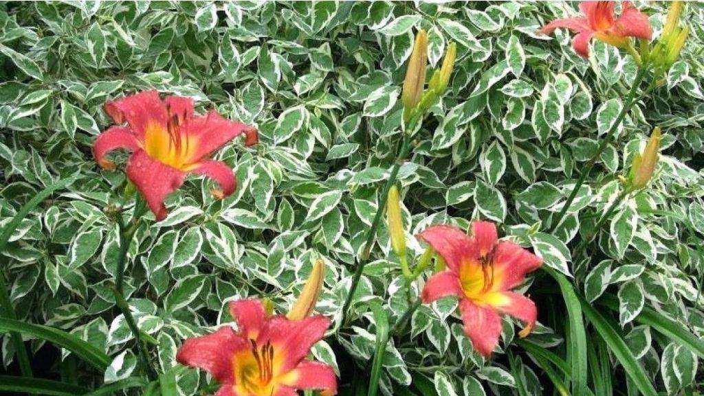 Be Inspired 7 Beautiful Shade Solution Shrubs Midwest