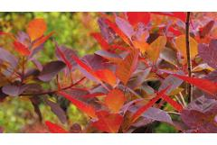 10 Unique Shrubs for Fall Color (Zone: 3 - 7)