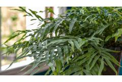Tips for Bringing Ferns Indoors for Winter