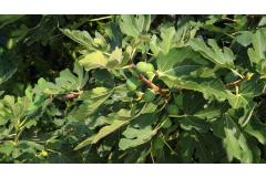 Good Eats: How to Grow Fig Trees