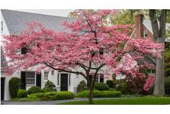 5 Ways to Use Dogwoods