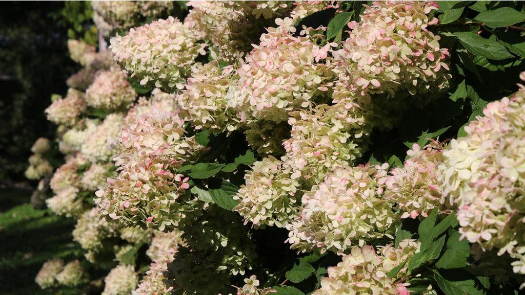 It's a wrap! Here's how to put hydrangeas to bed for the winter.