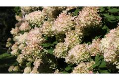 white hydrangea flowers turning pink in fall