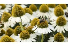 white echinacea with bee