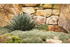 blue glow agave and dymondia silver carpet against a stone retaining wall