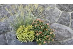 fall container garden with fountain grass, ascot euphorbia, and floralberry rose st johns wort