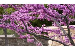 blooming redbud tree with stone wall in background
