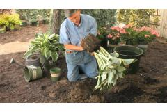 How to Replant Hosta