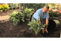 How to Mulch Hostas