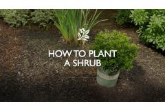 How to Plant a Shrub