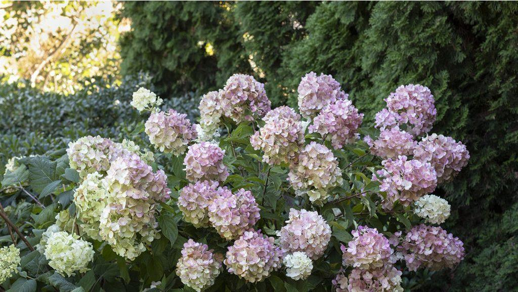 It's Showtime for Panicle Hydrangeas!