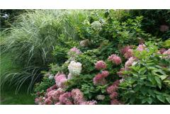 Obsession: Panicle hydrangea. No fuss, sun-loving, long-blooming. What'