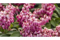 In Bloom: Shade-Loving Pieris