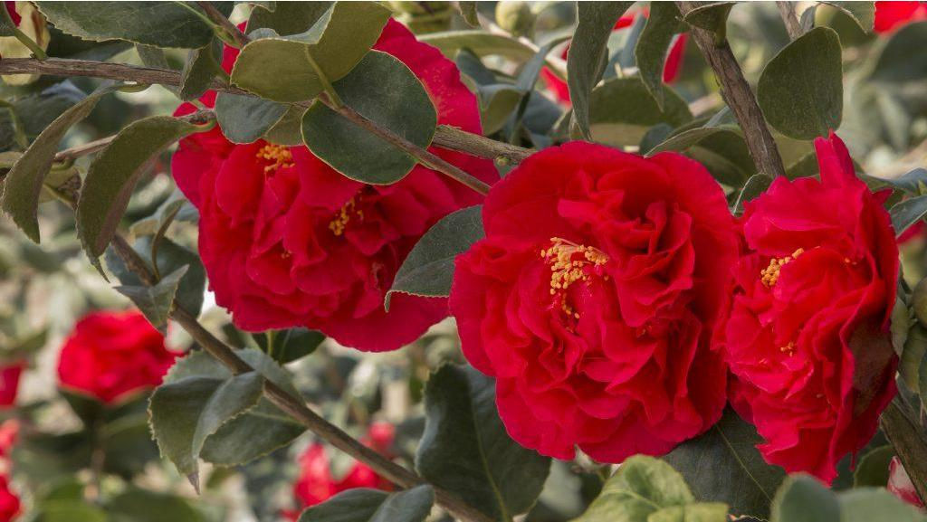 Late-Blooming Camellias For A Winter Floral Fix
