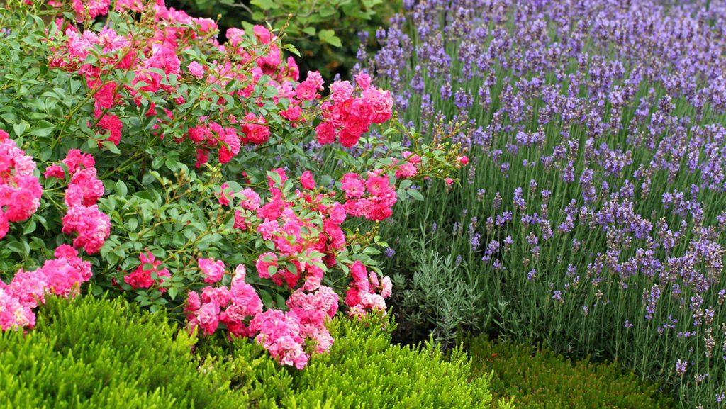 How to choose the best lavender for your garden