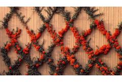 Tips for Growing Pyracantha